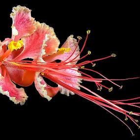 Caesalpinia pulcherrima by Rui Santos - Flowers Single Flower ( brazil, abaetetuba, caesalpinia pulcherrima, belém, amazônia, fuji, pará, stack, amazon,  )