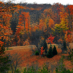 Forest of Orange by Kathy Woods Booth - Landscapes Forests ( field, michigan, orange, forest, autumn colors,  )