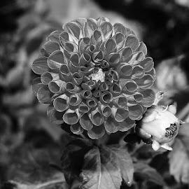 Dalhia by Gérard CHATENET - Black & White Flowers & Plants