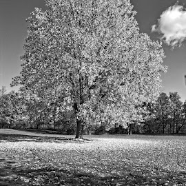 by Cal Brown - Black & White Landscapes ( letchworth, tree, black and white, state park, new york, landscape,  )