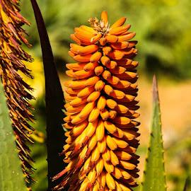 aloe by AB Rossouw - Flowers Flowers in the Wild ( yellow, aloe, buds, flower )