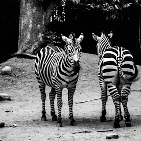 Zebra_2 by Soumyaroop  Chatterjee  - Animals Other Mammals ( contrast, animals, b&w, zoo, kolkata, fujifilm s2000hd, zebra,  )