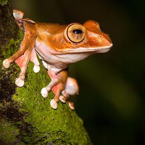 Madagascar Tree Frog 2 by Steve Bulford - Animals Amphibians ( boehmei, endemic, steve bulford, park, frog, tree-frog, treefrog, tropical, endangered, boophis madagascariensis, night, madagascar, rainforest,  )