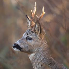 Roe deer by Allan Wallberg - Animals Other Mammals ( roe deer, sweden, wild, animals, horns, male, forest, gray, wild life, roebuck, buck, capreolus capreolus, outdoors, brown, natural, deer,  )