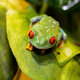 Out on a leaf by Michelle Ubriaco - Animals Amphibians ( red eyed tree frog, tree frog, pets, amphibian, frogs )