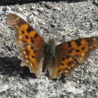 Painted Lady (butterfly)?