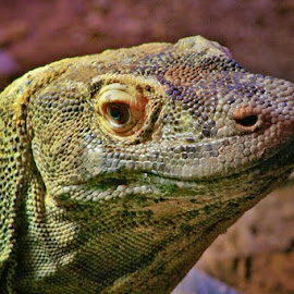 Komodo Dragon by Chilene Verheem - Animals Reptiles ( reptiles, komodos, dragons, komodo dragon, komodo )