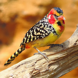 Barbican à tête rouge by Gérard CHATENET - Animals Birds