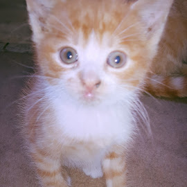 Orange cat by Vali Tina - Animals - Cats Kittens ( cat orange white kitty puss )