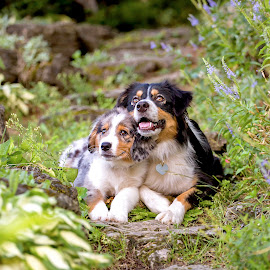 Siblings by Kinsey Winger - Animals - Dogs Portraits ( shepherd, nature, australian, pet, sibling, trail, stone, puppy, cute, dog, garden, aussie )