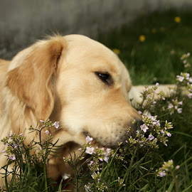 Ferdinand the retriever by Cecilie Hansteensen - Animals - Dogs Playing ( smell, nature, summer, flowers, dog, animals and flowers, golden retriever )