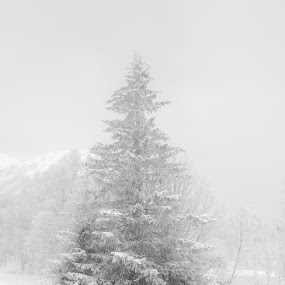 high key forest by Benny Høynes - Landscapes Forests ( winter, cold, tree, fog, landscapes, woods, norway )