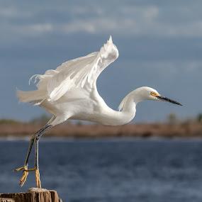 Snowy Egret Escape by Shutter Bay Photography - Animals Birds ( bird, bird of prey, nature, nature up close, snowy egret, bird photography, egret, bird in flight,  )
