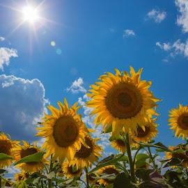 Sunflower by Serban Stelica - Landscapes Prairies, Meadows & Fields ( field, crops, sunflower, sun )