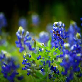 Bluebonnets by Brenda Shoemake - Flowers Flowers in the Wild (  )