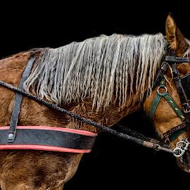 Mighty Steed! by Andrius La Rotta Esquivel - Animals Horses ( horseback, amazing, animals, horses, beautiful, horse, portrait, photography )