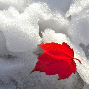Red leaf and Snow by Leah Zisserson - Nature Up Close Leaves & Grasses ( moods, colorful, colors, white, happiness, vibrant, object, leaves, landscape, pwc87, portrait, fall leaves on ground, inspiration, red, autumn, color, january, emotions, fall, snow, virginia, filter forge, mood factory, , #GARYFONGDRAMATICLIGHT, #WTFBOBDAVIS, Christmas, card, Santa, Santa Claus, holiday, holidays, season, Advent )