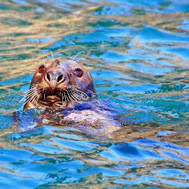 Seal by David Rose-Massom - Animals Sea Creatures ( seal, floating, wildlife, mammal, animal )