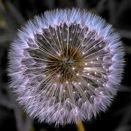 Weed of Light by Barbara Horner - Flowers Single Flower ( macro, nature, weed, white, seeds )