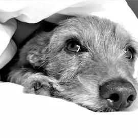 Sleep time by Jana  Malherbe - Animals - Dogs Portraits ( sleep, cute dog, doggie, dog, dog portrait )