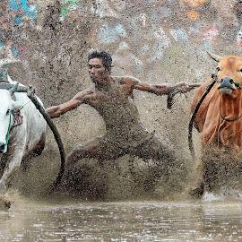 Cow Race @ West Sumatera by Zairi Waldani - Sports & Fitness Rodeo/Bull Riding