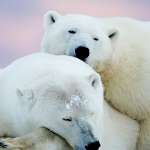 polar bear wallpaper APK Image