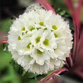 AYLI primula 01 by Michael Moore - Flowers Single Flower (  )