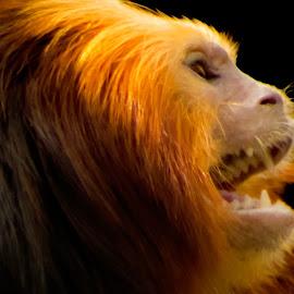 Golden Lion Tamarin by Julie Wooden - Animals Other Mammals ( north dakota, red, nature, bismarck, golden lion tamarin, outdoors, wildlife, primate, spring, monkey, mammal, animal )