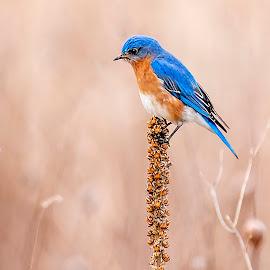 Blue in a Sea of Beige by Sue Matsunaga - Animals Birds