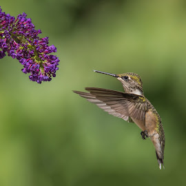 OK Now What by Roy Walter - Animals Birds ( bird, hummingbird, wildlife, garden, animal )