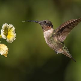 Questioning by Roy Walter - Animals Birds ( bird, flight, animals, hummingbird, wildlife )