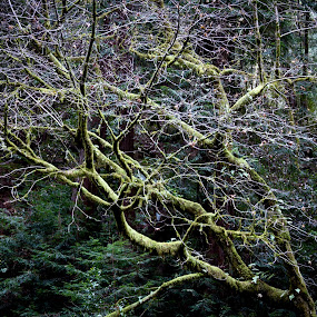 by Kenneth Glazebrook - Landscapes Forests ( california, muir woods )