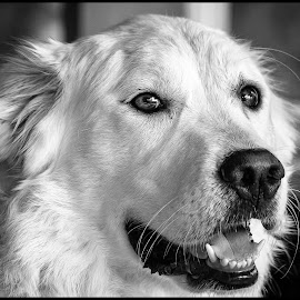 Great Pyrenees by Dave Lipchen - Black & White Animals ( great pyrenees )
