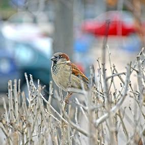 Finch (Lot#) by KM H - Animals Birds