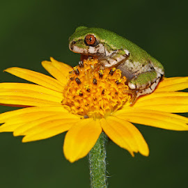 Frog on Flower by David Knox-Whitehead - Animals Amphibians ( macro, frog, green, yellow, frogs, flowers, flower )