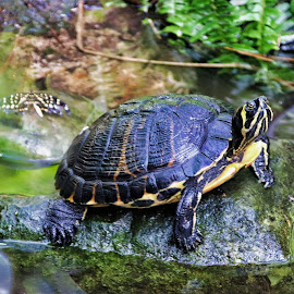 Mr. Turtle by Bruce Newman - Animals Amphibians ( waterscape, amphibian, nature up close, colorful turtle, nature photography )