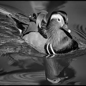 Mandarin Duck-41.jpg