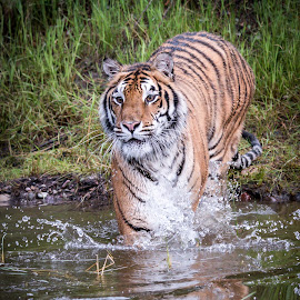 Tiger Reflections by Valerie Cozart - Animals Lions, Tigers & Big Cats ( big cats, tiger, outdoors, wildlife, portraits )