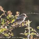 Woodchat Shrike; Alcaudón Común