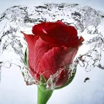 Rose Wallpaper, Floral, Flower Background: Rosely Icon