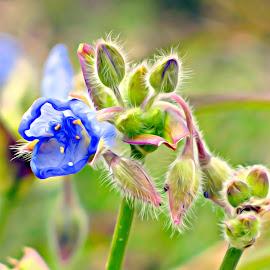 Blue  by Irina Aspinall - Digital Art Things ( nature, blue, buds, flower )