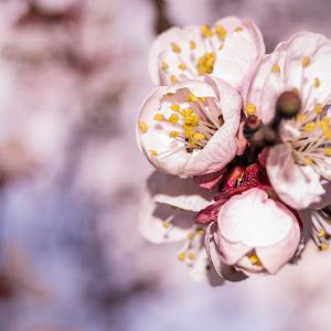 floare cais-4066.jpg