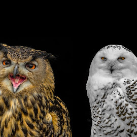 Owls by Natasja and Martijn - Digital Art Animals ( bird, black background, animals, solid background, owls )