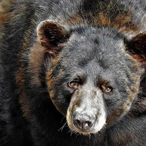 Intensity by Kathy Woods Booth - Animals Other Mammals ( mammals, bear, bears, brown bear, mammal,  )