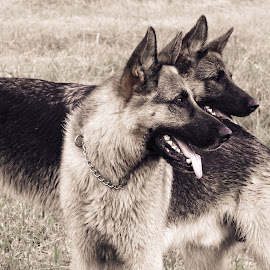 by Anastasia Kloppers - Animals - Dogs Portraits ( animals, dogs, pets, animal portraits, portrait,  )