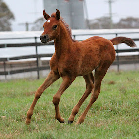 Arabian Foal by Glenys Lilley - Animals Horses ( horse, canter, arabian, animal, foal,  )