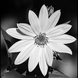 Yellow Flower by Dave Lipchen - Black & White Flowers & Plants ( yellow flower )