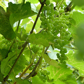 Green grapes on the vine. by Charlene Wiebe - Nature Up Close Gardens & Produce