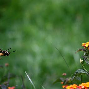 Butterfly flying by Cristobal Garciaferro Rubio - Animals Other ( butterfly, bokeh, flower )