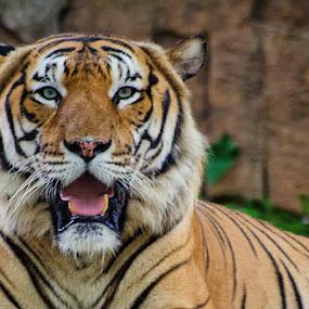 Malayan Tiger by Fitria Ramli - Animals Lions, Tigers & Big Cats ( animals, malayan tiger, tiger, tigers, nikon,  )